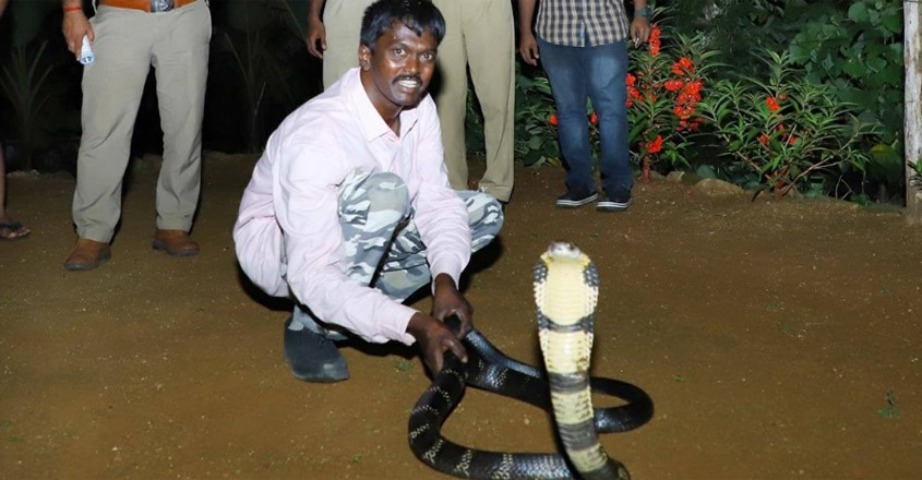 196th-king-cobra-caught-in-pathanamthitta